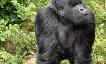 Gorillas and the Golden Monkeyss