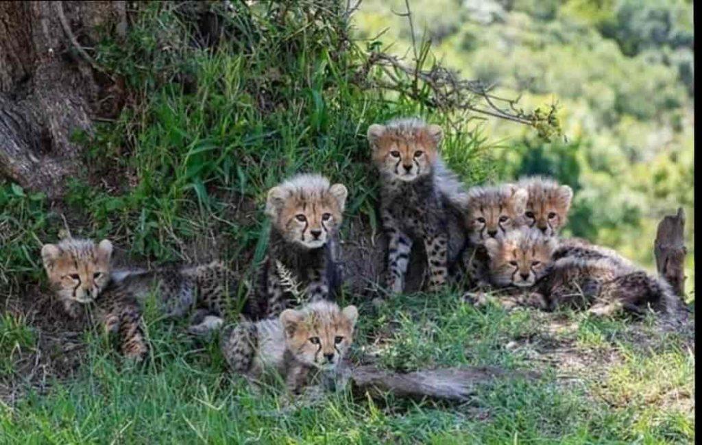 Cheetah gives birth to seven cubs