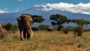 Tim Dies at 50 in Amboseli
