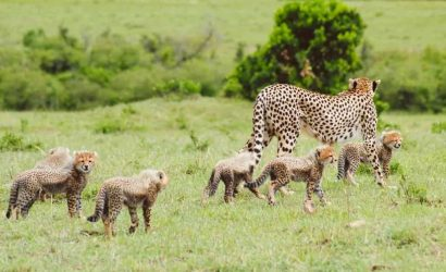 Cheetah gives birth to seven cubs.