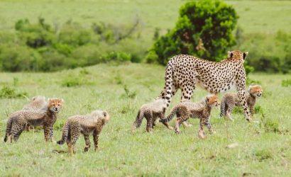 Cheetah gives birth to seven cubs.