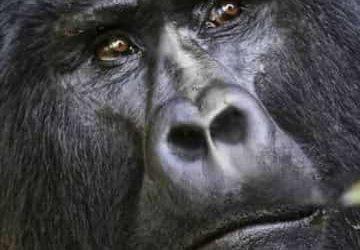 Gorilla Trekking in Rwanda Bwindi Impertranable