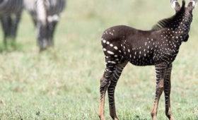 Incredible Rare Zebra in Mara